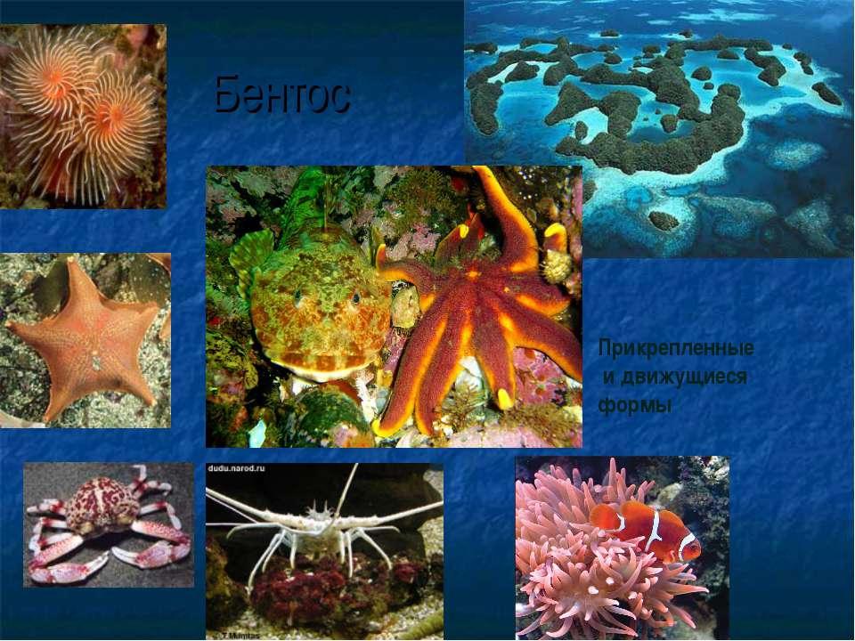 Бентос Прикрепленные и движущиеся формы