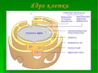 Ядро клетки