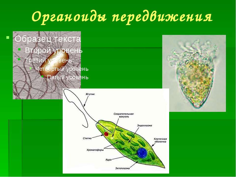 Органоиды передвижения
