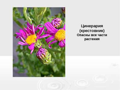 Цинерария (крестовник) Опасны все части растения