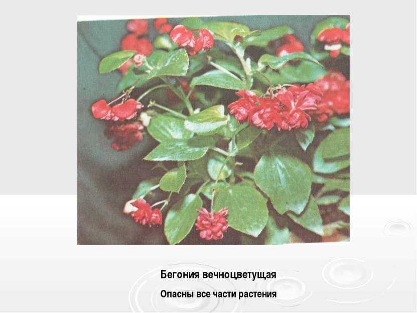 Бегония вечноцветущая Опасны все части растения