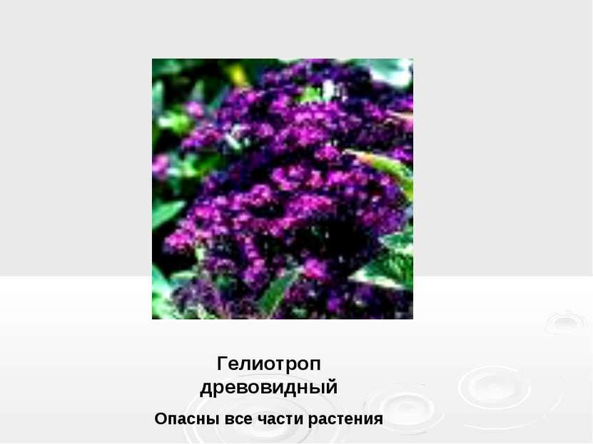Гелиотроп древовидный Опасны все части растения