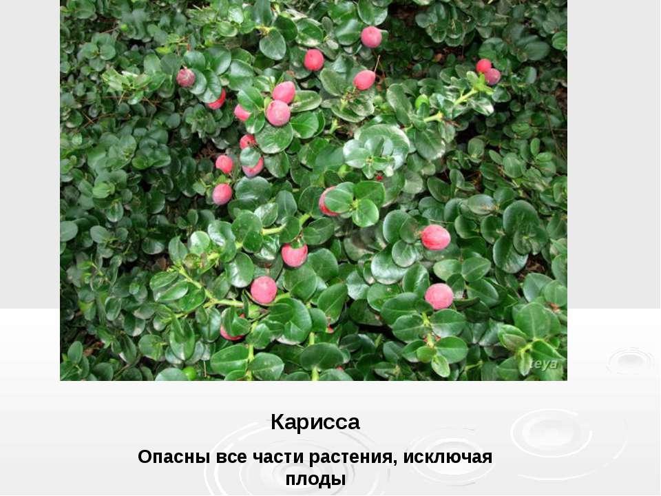 Карисса Опасны все части растения, исключая плоды