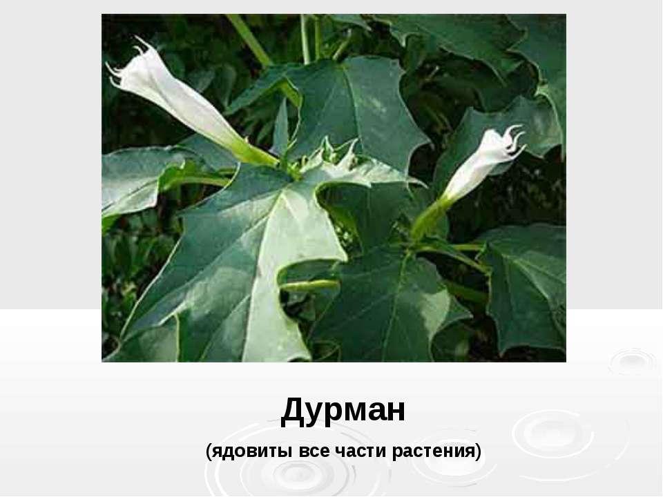 Дурман (ядовиты все части растения)