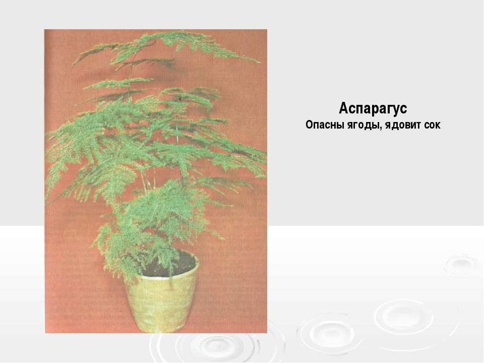 Аспарагус Опасны ягоды, ядовит сок