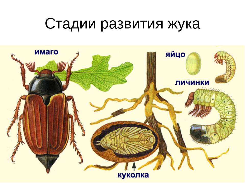 Стадии развития жука