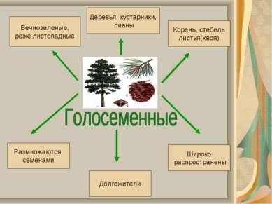 Размножаются семенами Долгожители Широко распространены Вечнозеленые, реже ли...