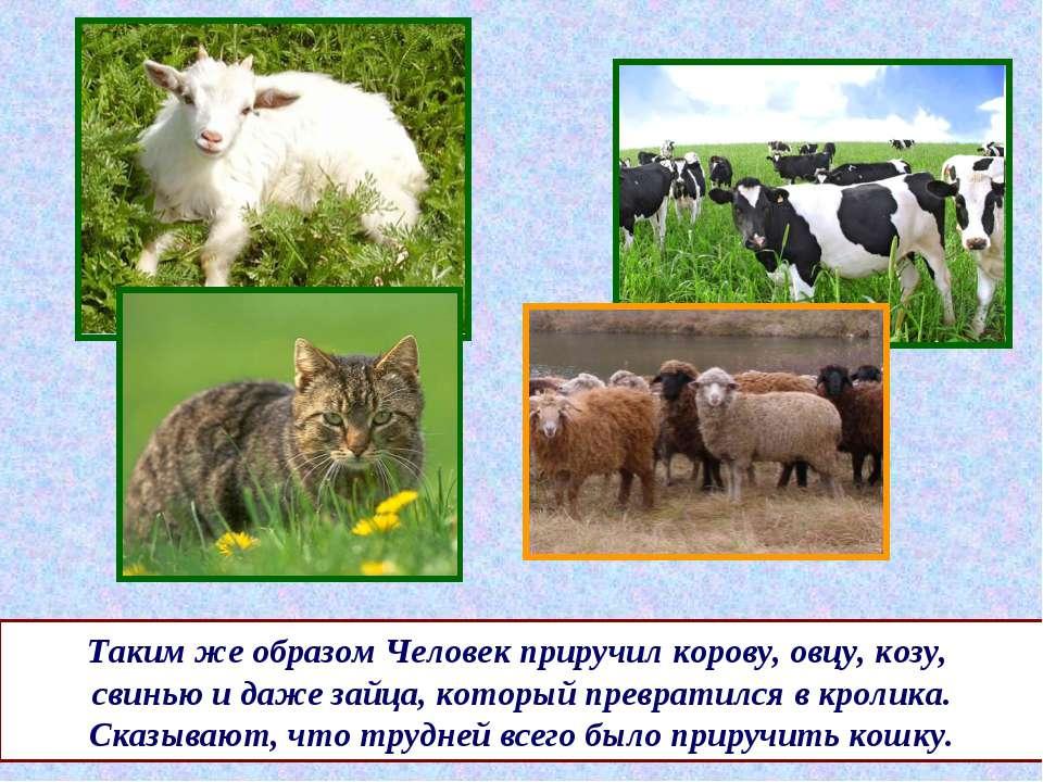 Таким же образом Человек приручил корову, овцу, козу, свинью и даже зайца, ко...