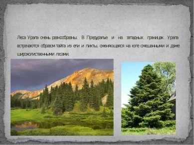 Леса Урала очень разнообразны. В Предуралье и на западных границах Урала встр...