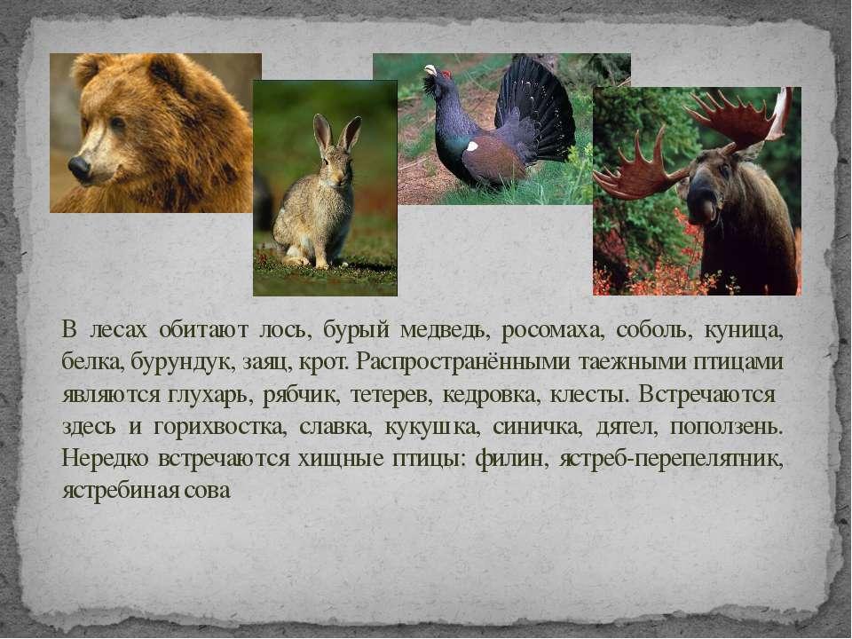 В лесах обитают лось, бурый медведь, росомаха, соболь, куница, белка, бурунду...