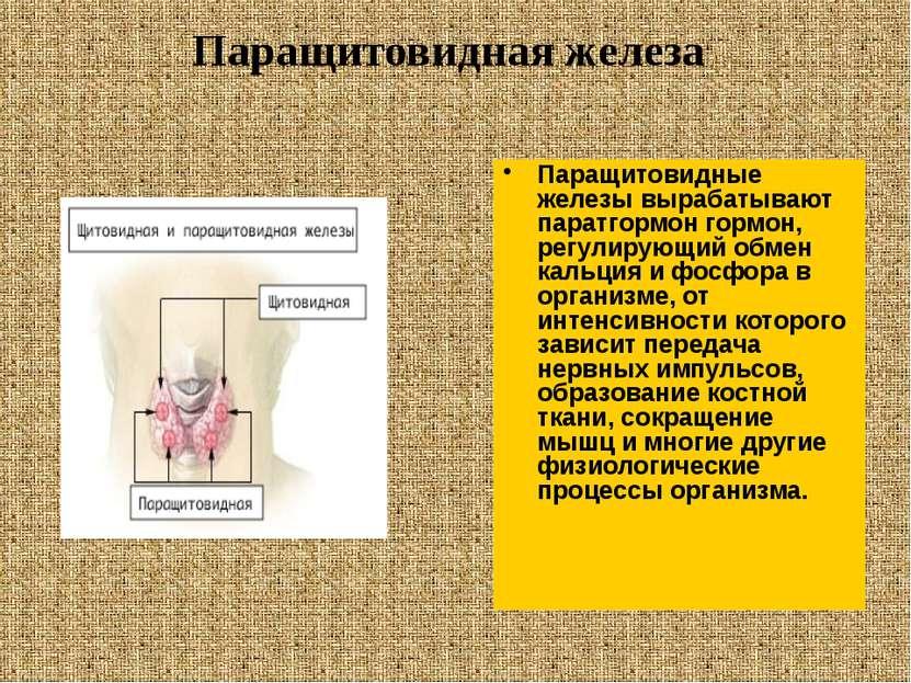 Паращитовидные железы вырабатывают паратгормон гормон, регулирующий обмен кал...