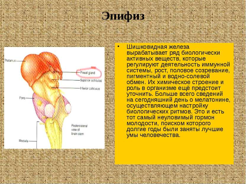 Эпифиз Шишковидная железа вырабатывает ряд биологически активных веществ, кот...