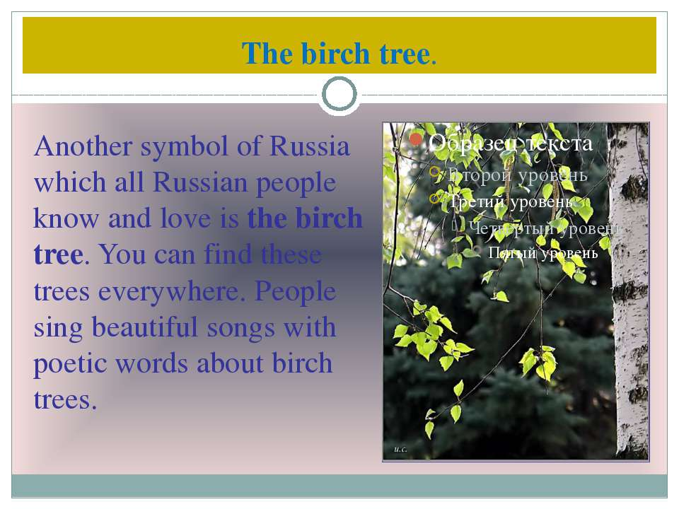 The birch tree. Another symbol of Russia which all Russian people know and lo...