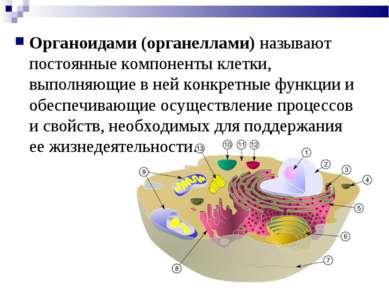 Органоидами (органеллами) называют постоянные компоненты клетки, выполняющие ...