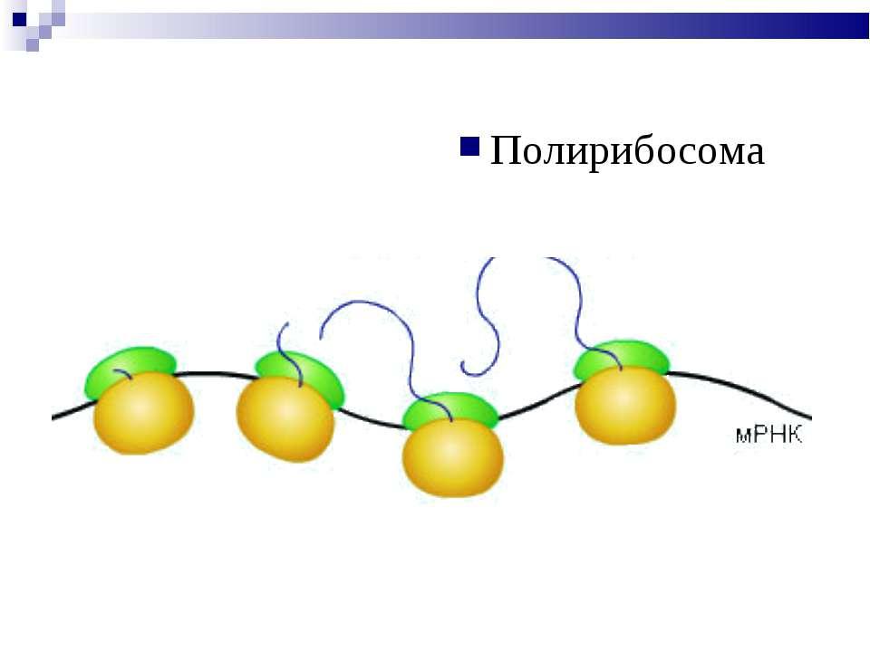 Полирибосома