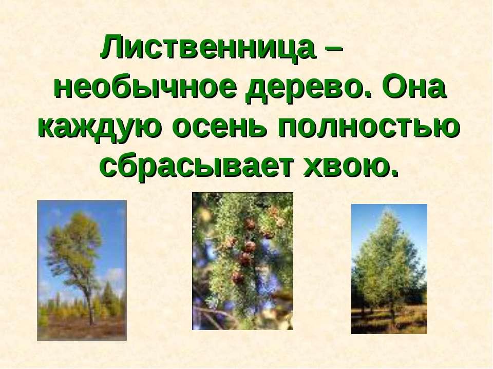 Лиственница – необычное дерево. Она каждую осень полностью сбрасывает хвою.