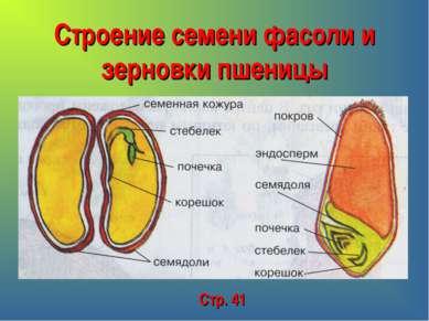 Строение семени фасоли и зерновки пшеницы Стр. 41
