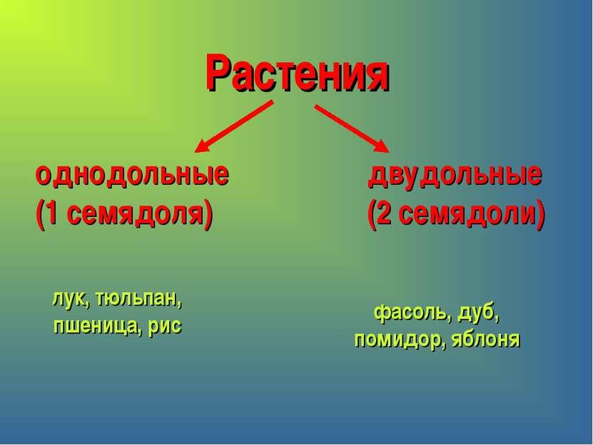 Растения однодольные (1 семядоля) двудольные (2 семядоли) лук, тюльпан, пшени...