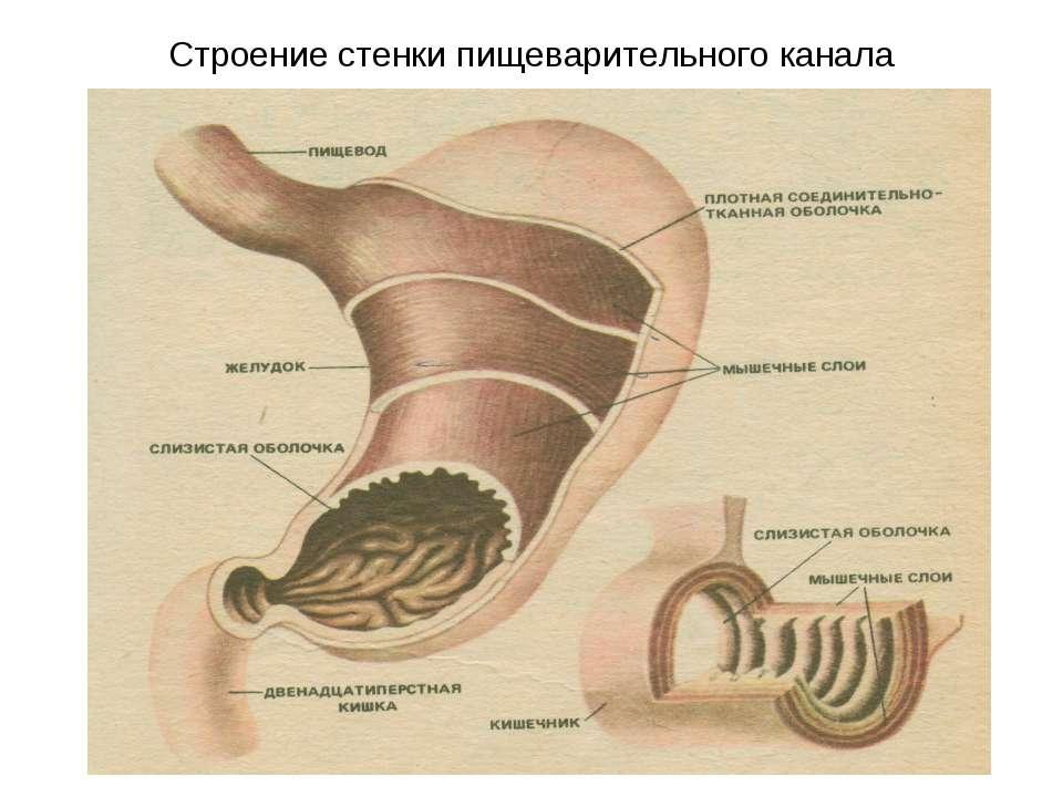 Строение стенки пищеварительного канала