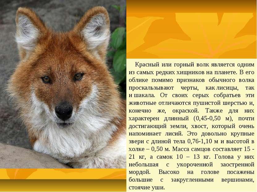 Красный или горный волк является одним из самых редкиххищниковна планете. В...