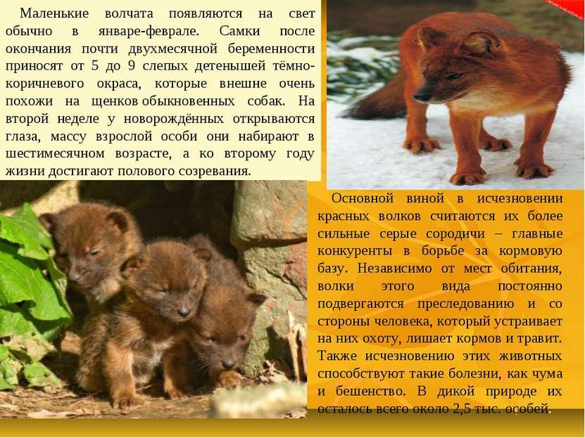 Маленькие волчата появляются на свет обычно в январе-феврале. Самки после око...