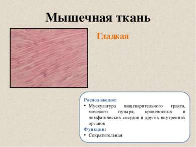 Гладкая Мышечная ткань Расположение: Мускулатура пищеварительного тракта, моч...
