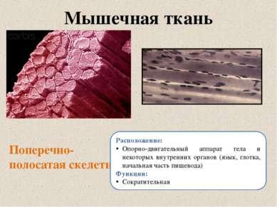 Мышечная ткань Поперечно-полосатая скелетная Расположение: Опорно-двигательны...