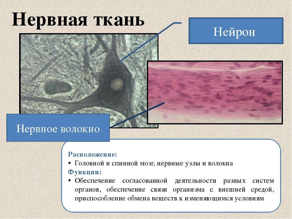 Нервная ткань Расположение: Головной и спинной мозг, нервные узлы и волокна Ф...