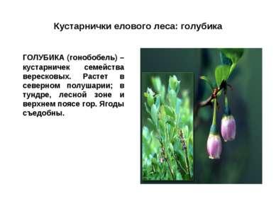 Кустарнички елового леса: голубика ГОЛУБИКА (гонобобель) – кустарничек семейс...