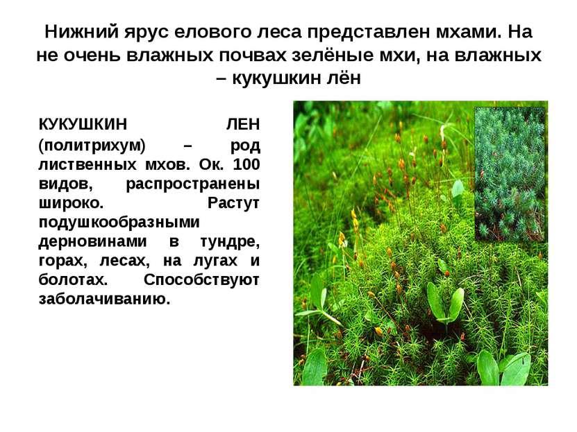 Нижний ярус елового леса представлен мхами. На не очень влажных почвах зелёны...