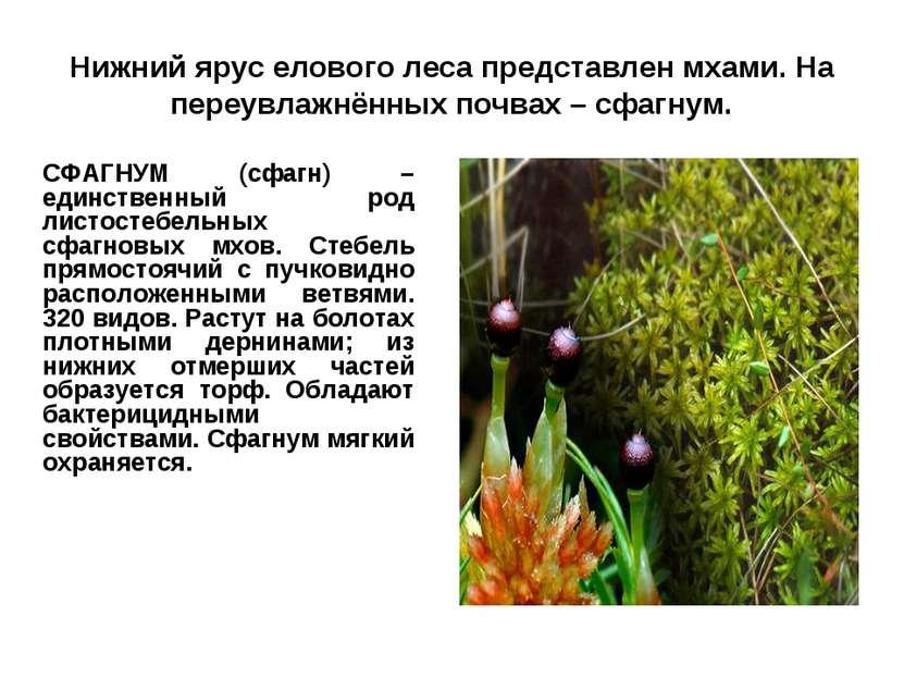 Нижний ярус елового леса представлен мхами. На переувлажнённых почвах – сфагн...