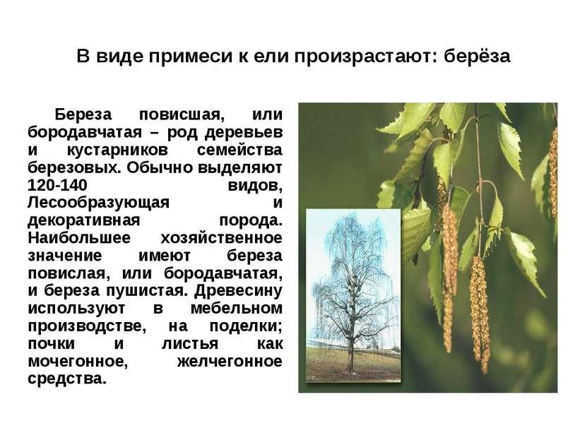 В виде примеси к ели произрастают: берёза Береза повисшая, или бородавчатая –...
