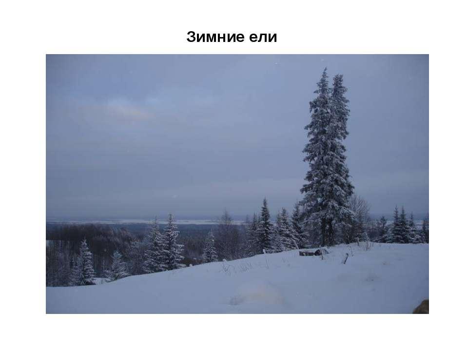 Зимние ели