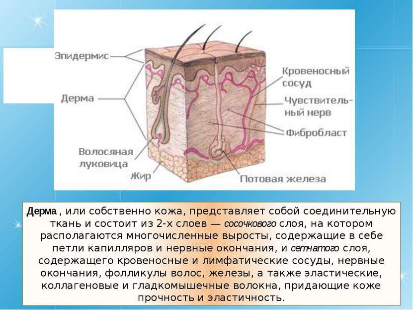 Дерма , или собственно кожа, представляет собой соединительную ткань и состои...