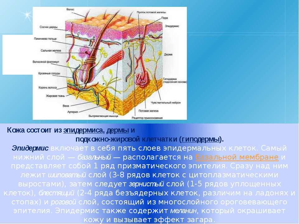 Кожа состоит из эпидермиса, дермы и подкожно-жировой клетчатки (гиподермы). Э...