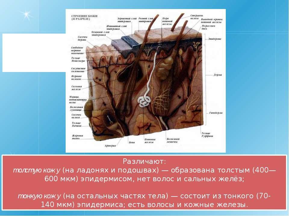 Различают: толстую кожу (на ладонях и подошвах)— образована толстым (400—600...