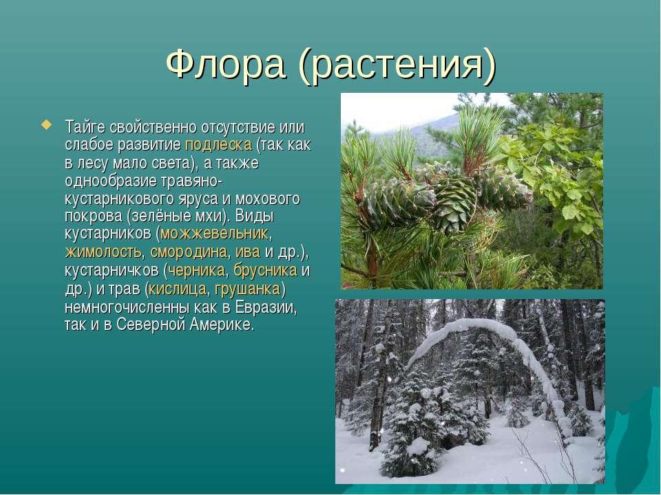 Флора (растения) Тайге свойственно отсутствие или слабое развитие подлеска (т...