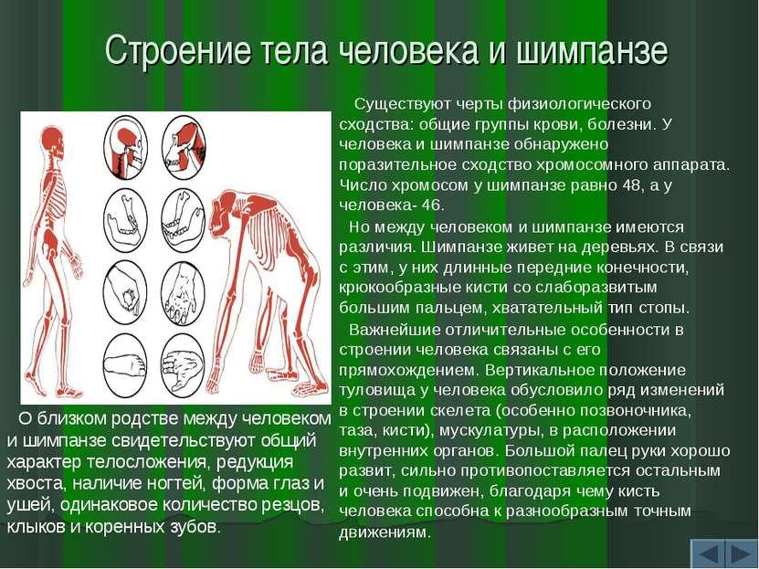 Строение тела человека и шимпанзе О близком родстве между человеком и шимпанз...