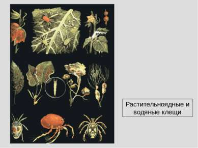 Растительноядные и водяные клещи