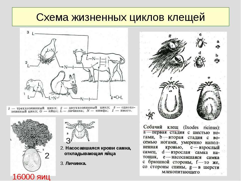 Схема жизненных циклов клещей 2. Насосавшаяся крови самка, откладывающая яйца...