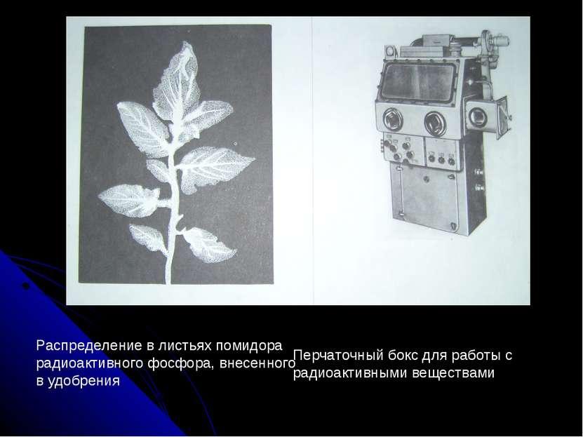 Распределение в листьях помидора радиоактивного фосфора, внесенного в удобрен...