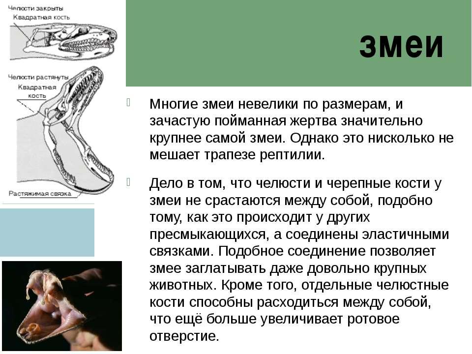 змеи Многие змеи невелики по размерам, и зачастую пойманная жертва значительн...