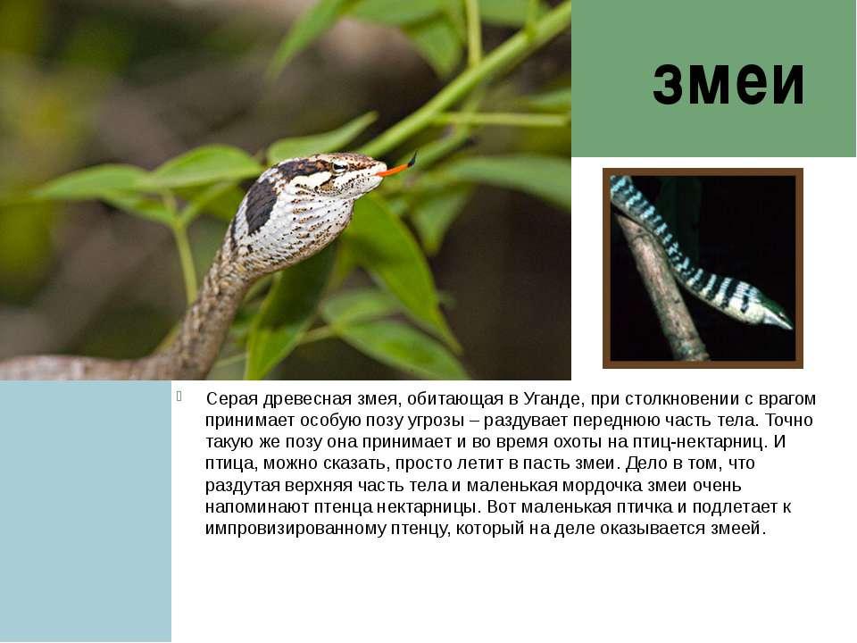 змеи Серая древесная змея, обитающая в Уганде, при столкновении с врагом прин...