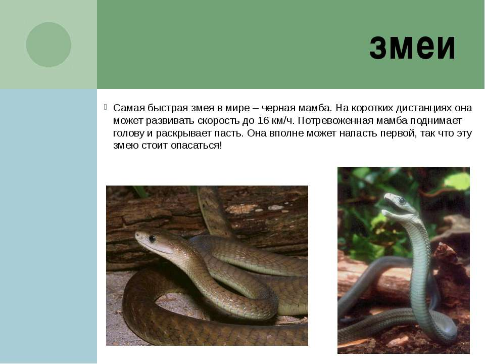 змея черная доклад мамба
