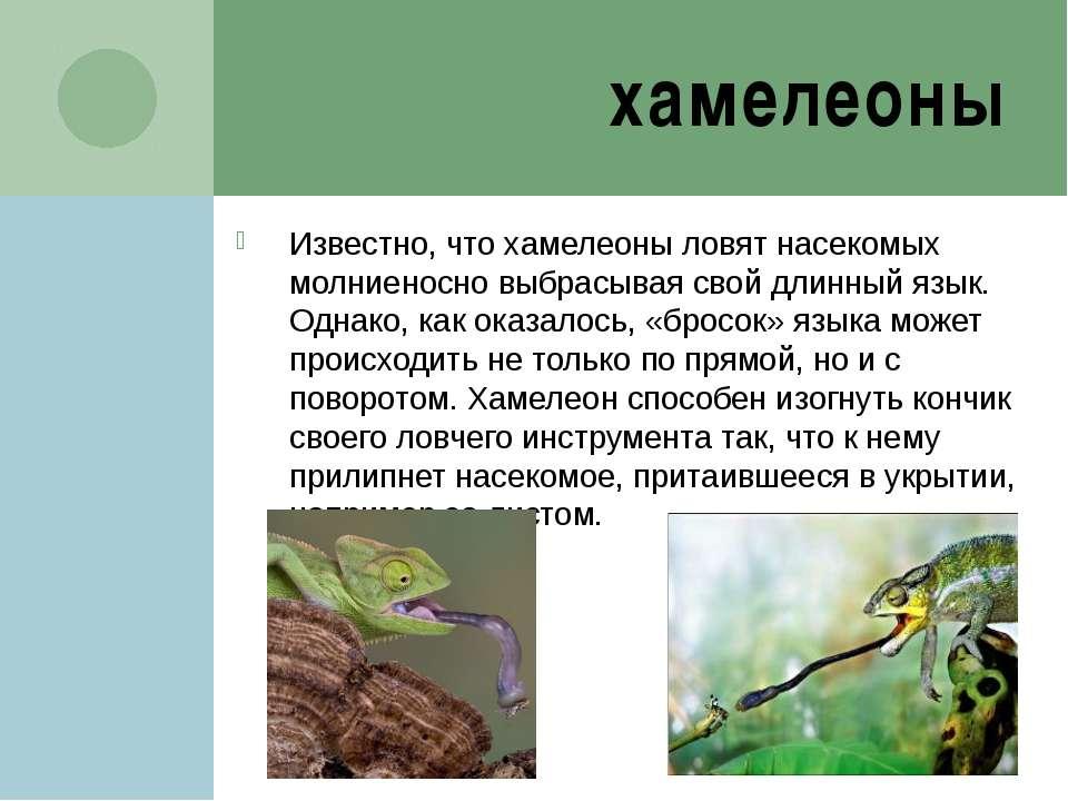 хамелеоны Известно, что хамелеоны ловят насекомых молниеносно выбрасывая свой...
