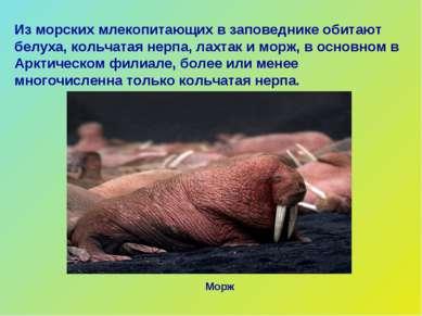 Из морских млекопитающих в заповеднике обитают белуха, кольчатая нерпа, лахта...