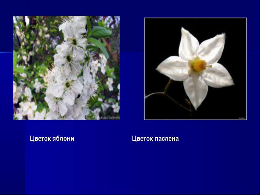 Цветок яблони Цветок паслена