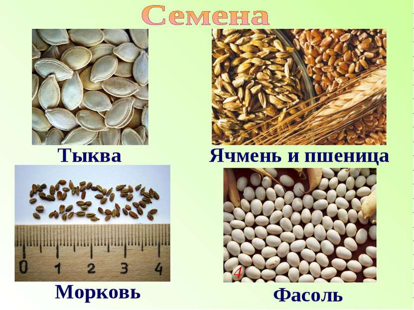 Тыква Ячмень и пшеница Морковь Фасоль