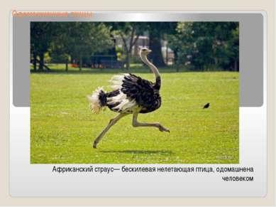 Одомашненные птицы Африканский страус— бескилевая нелетающая птица, одомашнен...