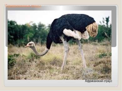 Одомашненные птицы Африканский страус